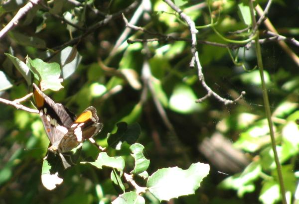 rarer butterfly