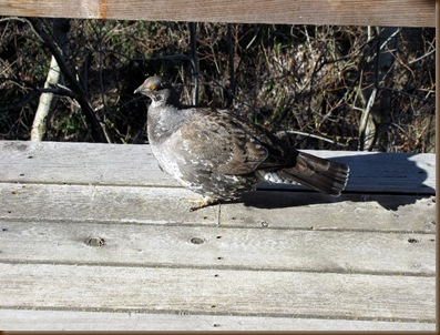 Grouse on deck