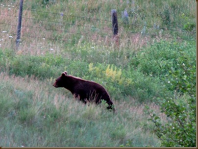 Bear July visitor