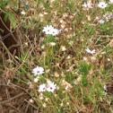 White Daisys