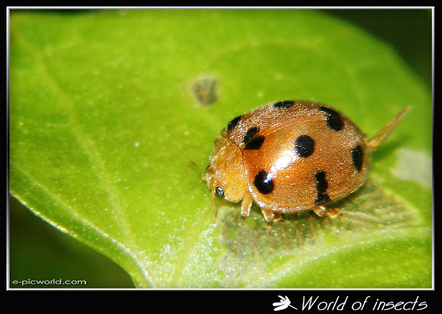 lady bug beetle picture