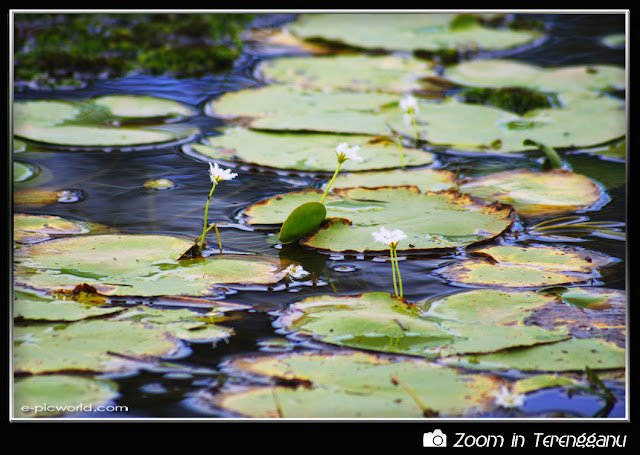 water lilies picture