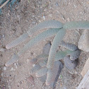 pinecone cactus