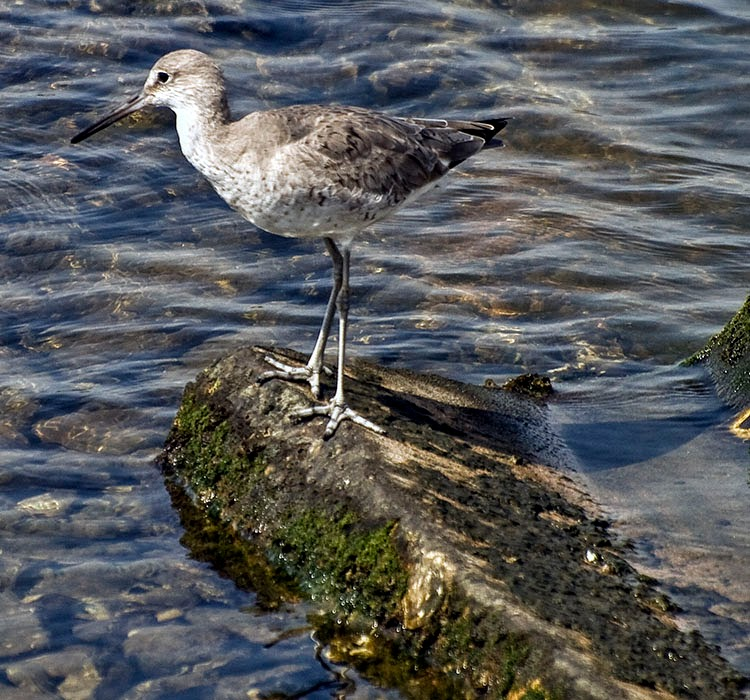 Willet Standing on rock