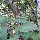 Water apple / jambu air
