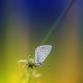 blue butterfly by Alexander Kulla - Animals Insects & Spiders ( butterfly, naturfotografie, nature, blue, nahaufnahme, walberla, natur, oberfranken, insect, makro, forchheim, animal,  )