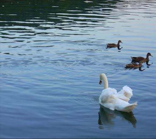 Swan Lake-Live Wallpaper