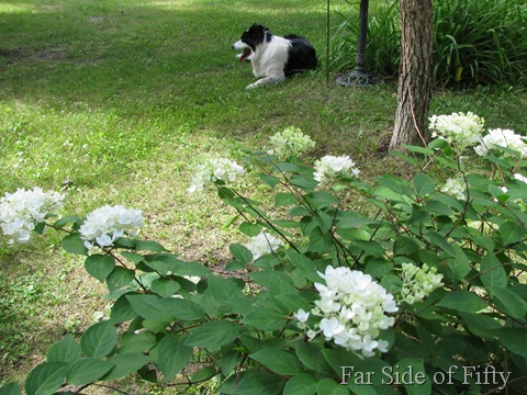 Pee gee Hydrangea and Chance