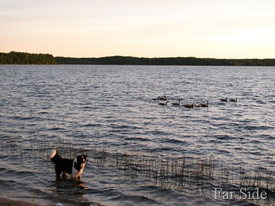 Chance and the Geese at Shell Lake May 25