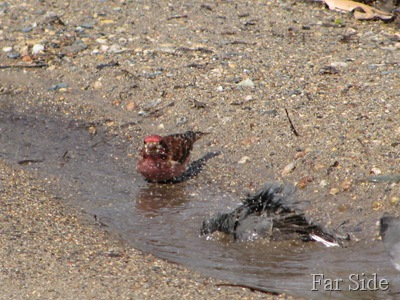 Junco splashing