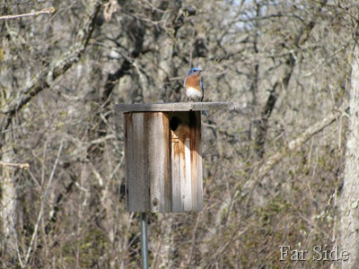 Bluebird and the nesting box
