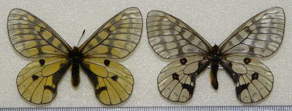 Parnassius (Driopa) eversmanni maui BRYK, 1915. Dalnegorsk, Oussouri, Russie. Photo : Pavel Morozov
