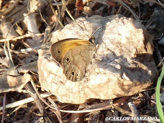 Pampasatyrus periphas GODART, 1824. Merlo, Provincia de San Luis, Argentina. Foto del 2 de febrero 2009, Carlos Marzano