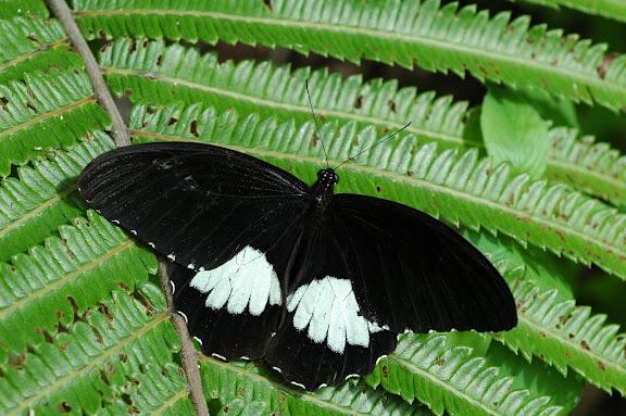 Papilio ambrax lutosa FRUHSTORFER, 1908, mâle. Meni, Arfak, 24 août 2007. Photo : G. Zakine