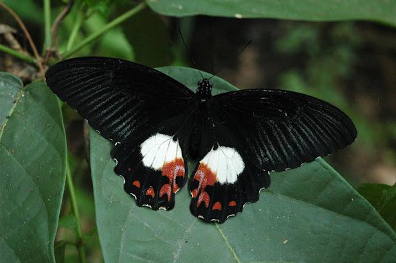Papilio ambrax lutosa FRUHSTORFER, 1908, femelle. Warkapi, Arfak, 27 août 2007. Photo : G. Zakine