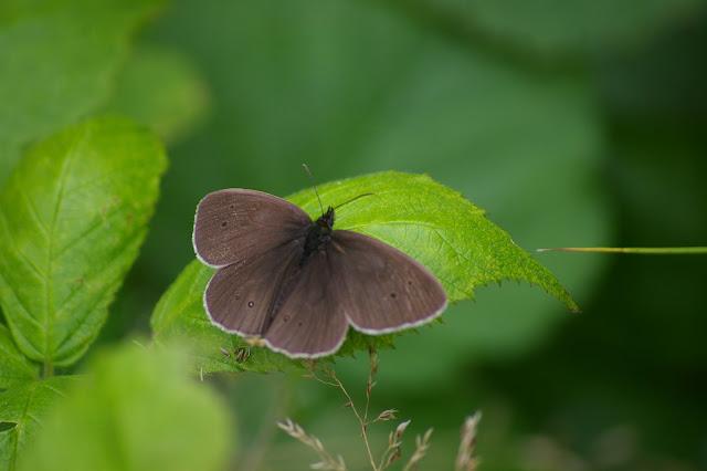 Aphotanpus hyperantus, les Hautes-Lisières (28260). Photo : J.-M. Gayman. 27 juin 2008