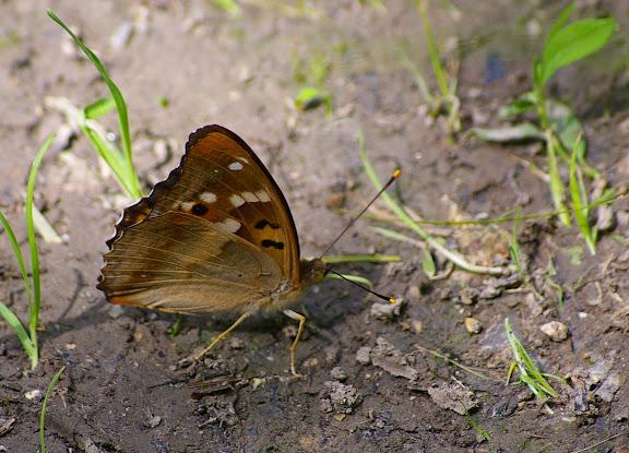 Apatura ilia DENIS & SCHIFFERMÜLLER, 1775, mâle, verso. Hautes-Lisières, 27 juin 2009. Photo : J.-M. Gayman