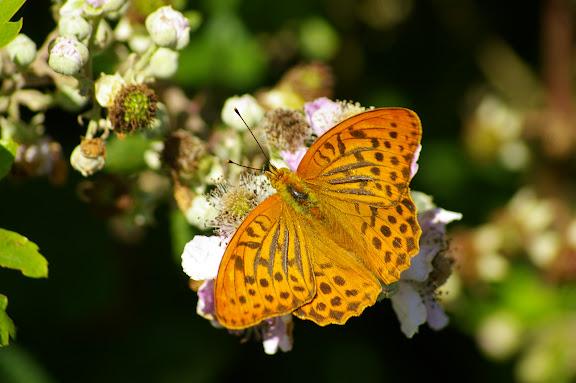 Argynnis paphia LINNAEUS, 1758, mâle. Les Hautes-Lisières, 13 juillet 2009. Photo : Jean-Marc Gayman