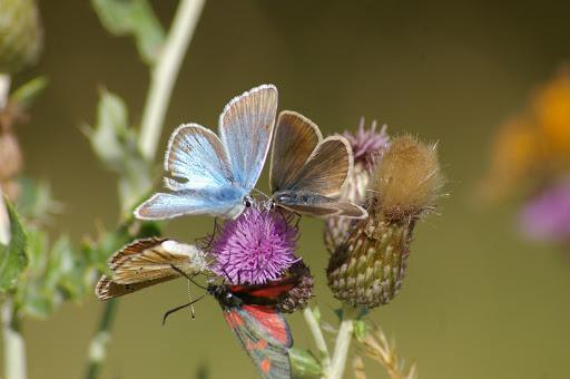 Agrodiaetus damon DENIS & SCHIFFERMÜLLER, 1775, mâle et femelle. Zygaena locinerae, SCHEVEN, 1777. Super Sauze, 1700 m, (Alpes-de-Haute-Provence), 8 août 2009. Photo : J.-M. Gayman
