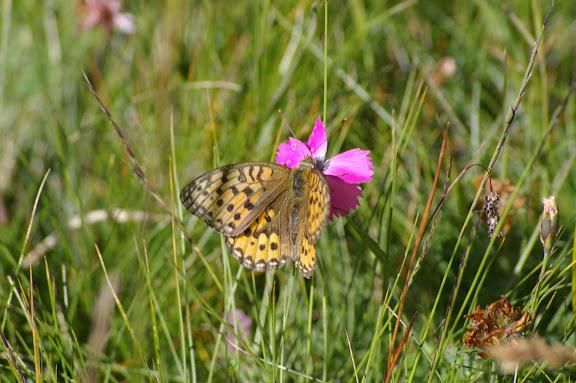 Speyeria aglaja LINNAEUS, 1758, femelle. Super Sauze, 2000 m, août 2009. Photo : J.-M. Gayman