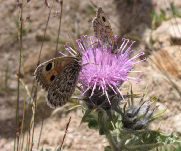 Karanasa alpherakyi AVINOV, 1910 et Karanasa leechi GRUM-GRSHIMAILO, 1890 Vallon Ayu Keziu, 4100 m (40 km Est de Murghab). 25 juillet 2007. Photo Jean Michel