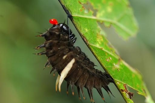 Chenille d'Ornithoptera priamus poseidon, montrant l'osmeterium, se préparant à la nymphose. Mokwam, Arfak, 22 août 2007. Photo : G. Zakine