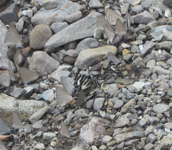 "Lycènes ""mud-puddlant"". Au centre : Bindahara meeki ROTHSCHILD & JORDAN, 1905 (?). Autour : Udara cardia C. FELDER, 1860 (?) Meni, Arfak, août 2007. Photo : Catherine Thoumyre"
