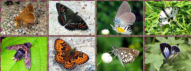 1a : Thymelicus sylvaticus BREMER, 1861 - Monts Sinyi. 1b : Seokia (Limenitis) pratti eximia, MOLTRECHT, 1909 - Monts Sinyi. 1c : Cyaniris semiargus amurensis TUTT, 1909 - Monts Sinyi. 1d : Sericinus montela montela GRAY, 1852 - Lac Khasan. 2b : Brenthis ino amurensis STAUDINGER, 1887 - Monts Sinyi. 2c : Heteropterus morpheus PALLAS, 1771 - Monts Sinyi. 2d : Artopoetes pryeri continentalis SHIRÔZU, 1953 - Monts Sinyi. Photos : N. N. Balatskij