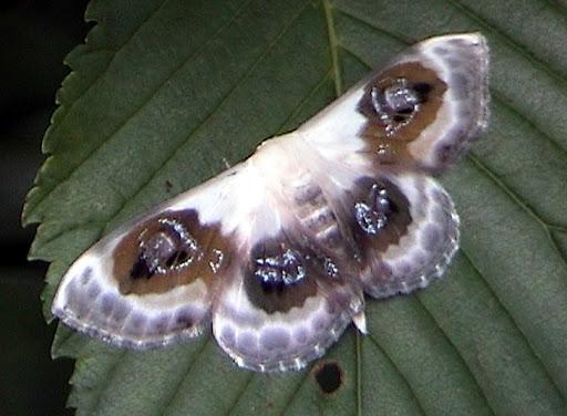 Geometridae Sterrhinae : Problepsis phoebearia ERSCHOV, 1870 ? Monts Sinyi, Oussouri. Photo : N. N. Balatskij