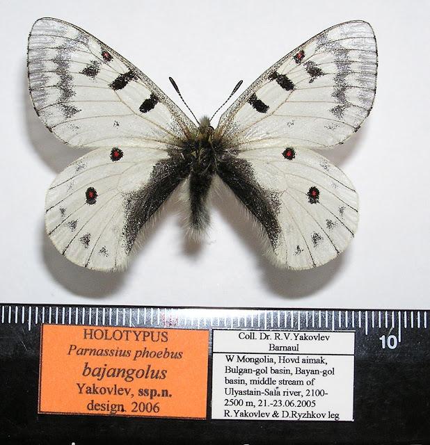 Parnassius phoebus bajangolus ssp. nova YAKOVLEV, 2006, holotype mâle. Khovd dist., Mongolie occidentale. Photo : Roman Yakovlev