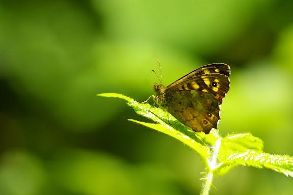 Pararge aegeria LINNAEUS, 1758. Hautes-Lisières (Rouvres, 28), 7 juin 2010. Photo : J.-M. Gayman