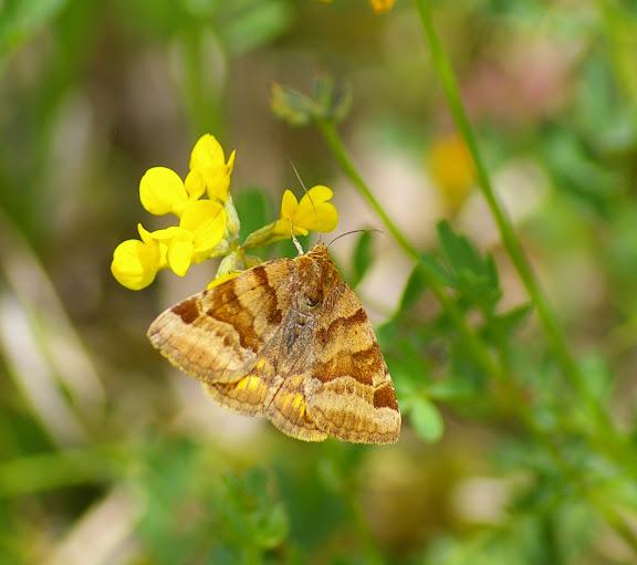 Noctuidae : Catocalinae : Euclidia glyphica LINNAEUS, 1758. Basses-Lisières (Rouvres, 28), 7 juin 2010. Photo : J.-M. Gayman