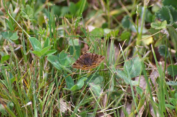 Noctuidae : Catocalinae : Euclidia glyphica LINNAEUS, 1758. Hautes-Lisières (Rouvres, 28), 25 mai 2010. Photo : J.M. Gayman
