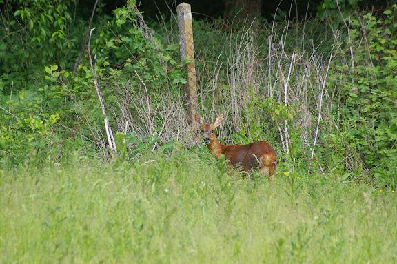 Jeune biche. Hautes-Lisières (Rouvres, 28), 2 juin 2010. Photo : J.M. Gayman