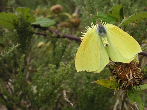 Goneteryx cleobule HÜBNER, 1824, femelle. Ténérife, Las Mercedes, 1000 m, 15.VIII.2009. Photo : J.-F. Charmeux