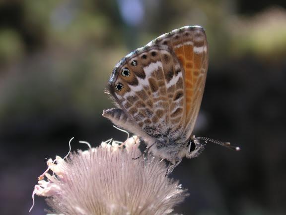 Cyclyrius webbianus BRULLÉ, 1840, mâle, Ténérife, Montaña Roja, 1780 m,  5.VIII.2009. Photo : J.-F. Charmeux