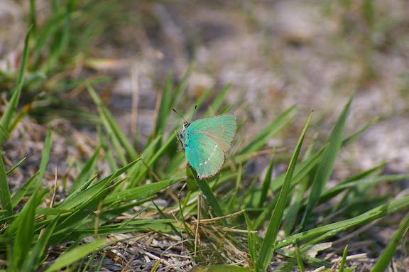 Callophrys rubi LINNAEUS, 1758. Les Basses-Lisières (Rouvres, 28). 5 juin 2010. Photo : J.-M. Gayman