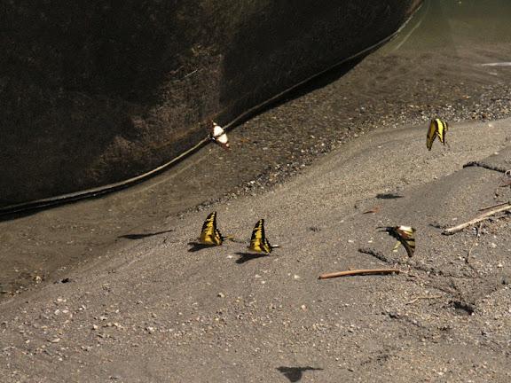 Papilionini : probablement Papilio (Heraclides) thoas cinyras MÉNÉTRIÉS, 1857, mâles. Berges du rio Tono (près de Pilcopata), 17 juillet 2007. Photo : Josh