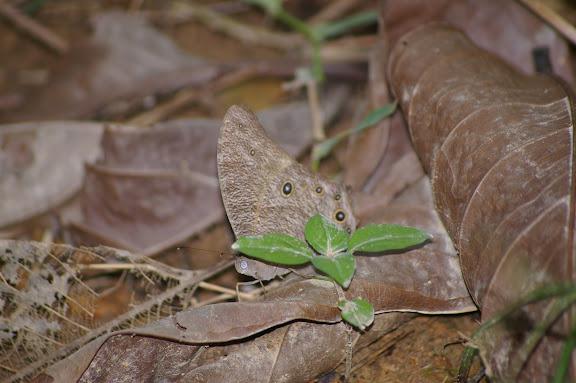 Melanitis leda leda LINNAEUS, 1758. Jinghong (Xichuangbanna, Yunnan), 28 août 2010. Photo : J.-M. Gayman