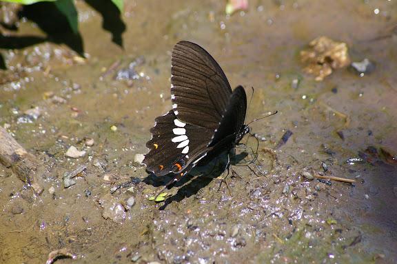 Papilio polytes LINNAEUS, 1758, mâle. Lac Lashi (2400 m, ouest de Lijiang, Yunnan), 16 août 2010. Photo : J.-M. Gayman