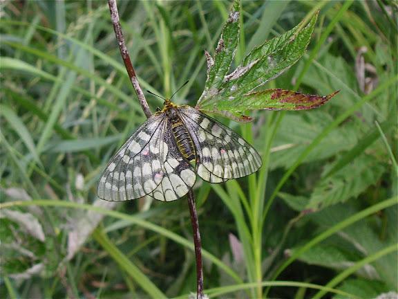 Parnassius eversmanni MÉNÉTRIÈS, 1855, femelle. 10 km au nord de Krasnorechenskij près de Dal'negorsk, 25 juillet 2010. Photo : J. Michel