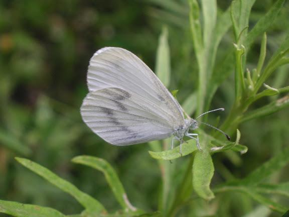Leptidea morsei FENTON, 1881. 6 km au sud d'Anisimovka, 21 juillet 2010. Photo : J. Michel