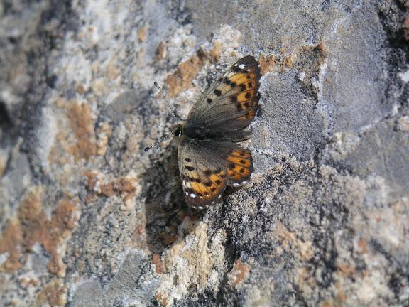 Polycaena tamerlana timur STAUDINGER, 1886, vers 3800 m. Au Sud-Est de Kara Say, Mts Borkoldoy, Kirghizstan, 11 juillet 2006. Photo : F. Michel