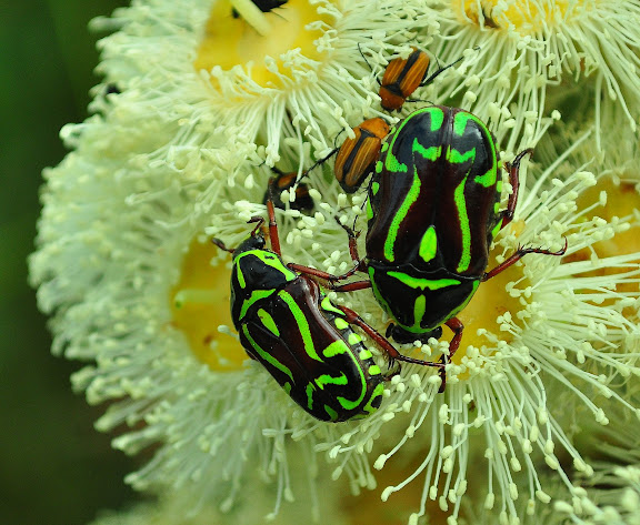 Scarabaeidae : Cetoniinae : Eupoecila australasiae DONOVZAN, 1805. Mount Kuring-gai, New South Wales (Australie), 25 novembre 2009. Photo : Barbara Kedzierski