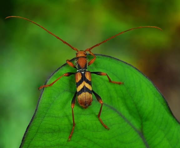 Cerambycidae : Aridaeus thoracicus DONOVAN, 1805. Mount Kuring-gai, New South Wales (Australie), 30 décembre 2009. Photo : Barbara Kedzierski