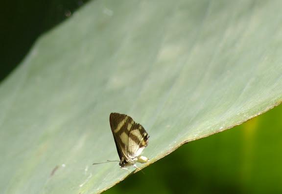 Riodinidae : Synargis axenus HEWITSON, 1876 ou S. bifasciata MENGEL, 1902 ou encore S. regulus FABRICIUS, 1793 ? Pulso (Ubatuba, SP), 12 février 2011. Photo : J.-M. Gayman