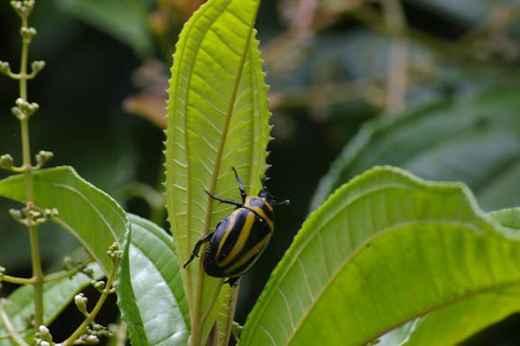 Scarabaeidae : Rutelinae : Macraspis cincta DRURY, 1782. Partie orientale d'Ilha Grande (RJ), 17 février 2011. Photo : J.-M. Gayman