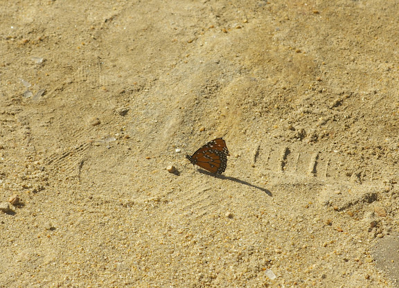 Danaus erippus CRAMER, 1775. Paraty (RJ), 20 février 2011. Photo : J.-M. Gayman