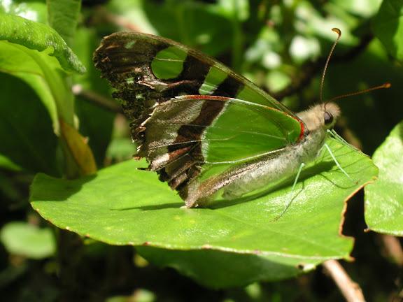 Graphium macleayanus LEACH, 1814 (exemplaire en très mauvais état). Gerringong au sud de Wollongong, 14 décembre 2008. Photo : J. Michel