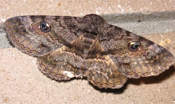 Noctuidae : Catocalinae : Donuca castalia FABRICIUS, 1775. Près de Kyogle (NSW), 25 décembre 2004. Photo : J. Michel